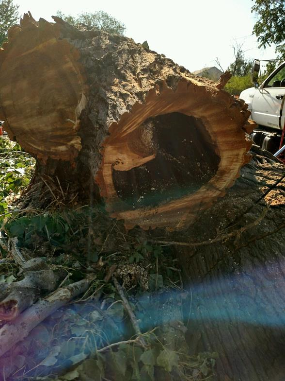 A living hazard tree with internal decay
